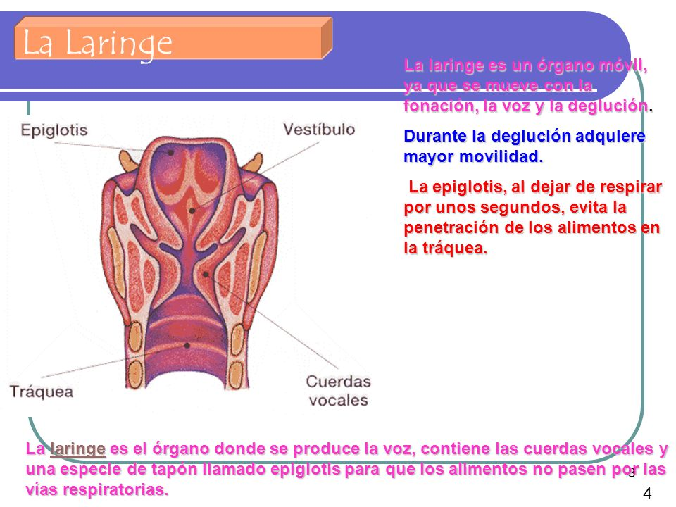 8 La Laringe La laringe es el órgano donde se produce la voz, contiene las cuerdas vocales y una especie de tapón llamado epiglotis para que los alime