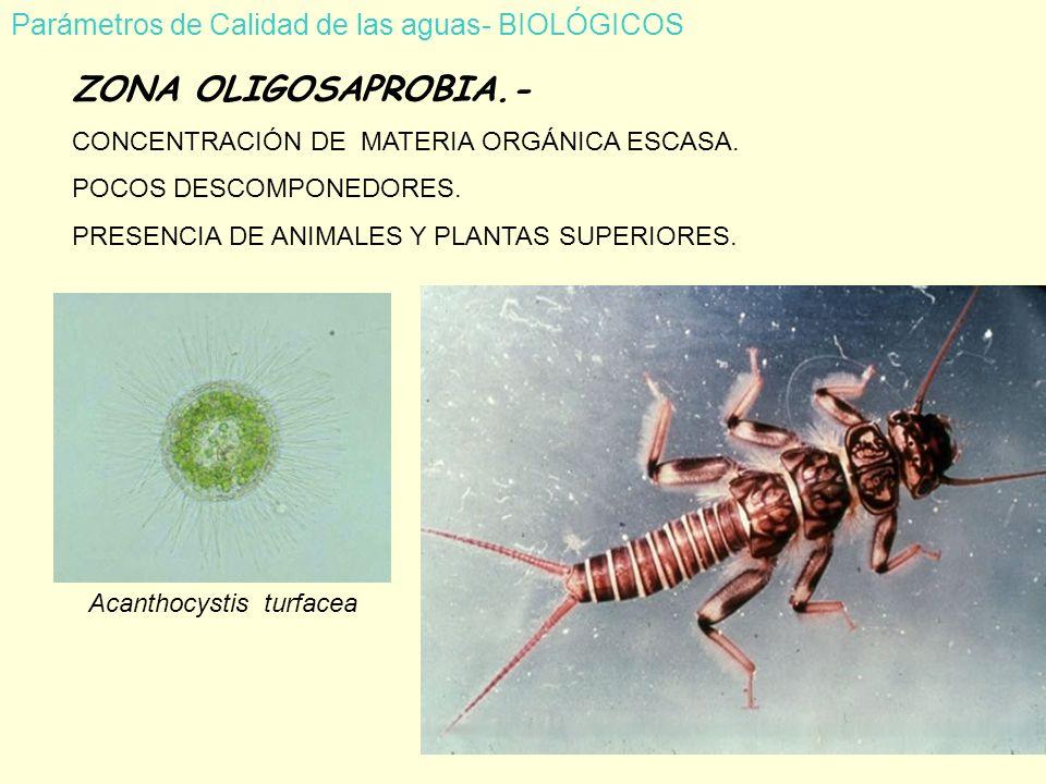 Parámetros de Calidad de las aguas- BIOLÓGICOS ZONA OLIGOSAPROBIA.- CONCENTRACIÓN DE MATERIA ORGÁNICA ESCASA.