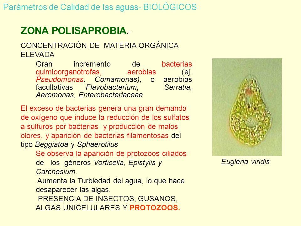 ZONA POLISAPROBIA.- CONCENTRACIÓN DE MATERIA ORGÁNICA ELEVADA Gran incremento de bacterias quimioorganótrofas, aerobias (ej.
