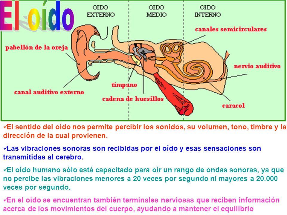 El sentido del oído nos permite percibir los sonidos, su volumen, tono, timbre y la dirección de la cual provienen. Las vibraciones sonoras son recibi