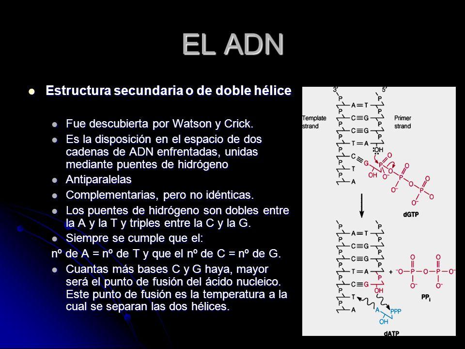 EL ADN Estructura secundaria o de doble hélice Estructura secundaria o de doble hélice Fue descubierta por Watson y Crick. Fue descubierta por Watson