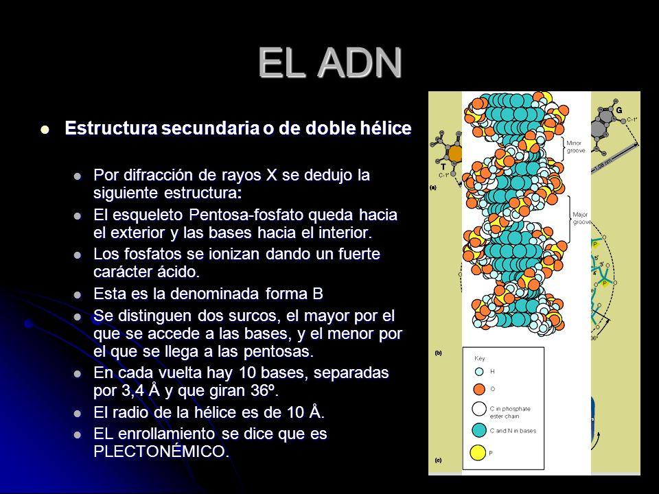 EL ADN Estructura secundaria o de doble hélice Estructura secundaria o de doble hélice Por difracción de rayos X se dedujo la siguiente estructura: Po