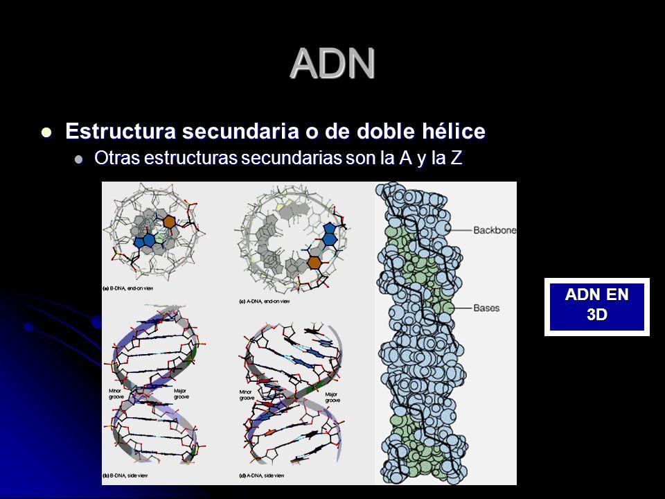 ADN Estructura secundaria o de doble hélice Estructura secundaria o de doble hélice Otras estructuras secundarias son la A y la Z Otras estructuras se