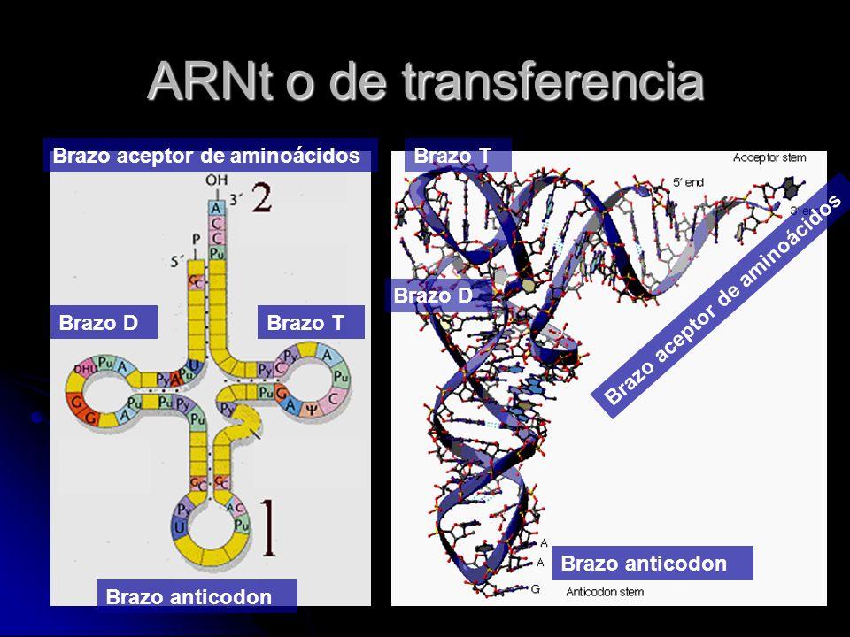 Brazo aceptor de aminoácidos Brazo anticodon Brazo DBrazo T Brazo D Brazo aceptor de aminoácidos Brazo anticodon