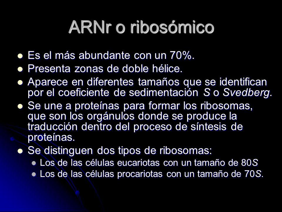 ARNr o ribosómico Es el más abundante con un 70%. Es el más abundante con un 70%. Presenta zonas de doble hélice. Presenta zonas de doble hélice. Apar