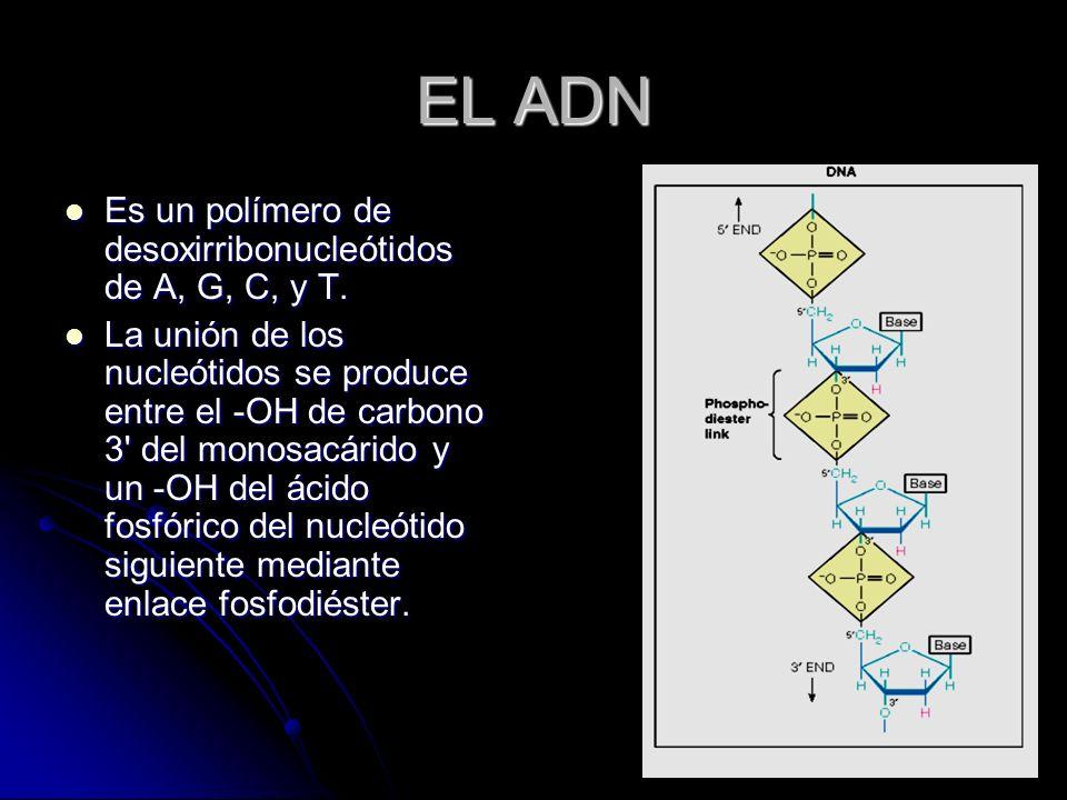 EL ADN Es un polímero de desoxirribonucleótidos de A, G, C, y T. Es un polímero de desoxirribonucleótidos de A, G, C, y T. La unión de los nucleótidos