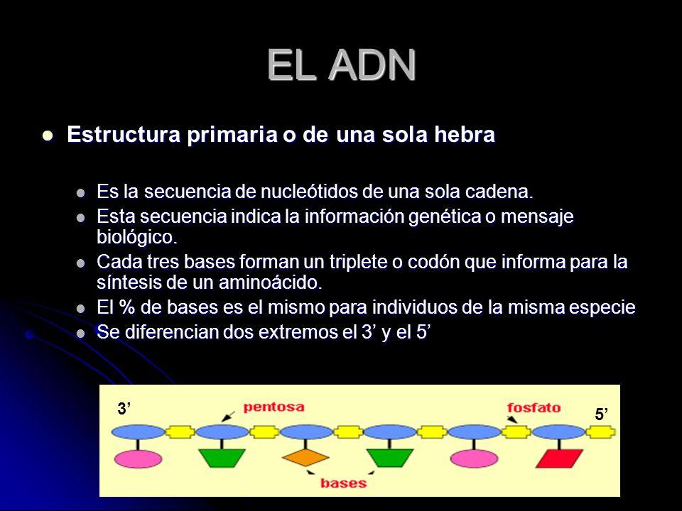EL ADN Estructura primaria o de una sola hebra Estructura primaria o de una sola hebra Es la secuencia de nucleótidos de una sola cadena. Es la secuen