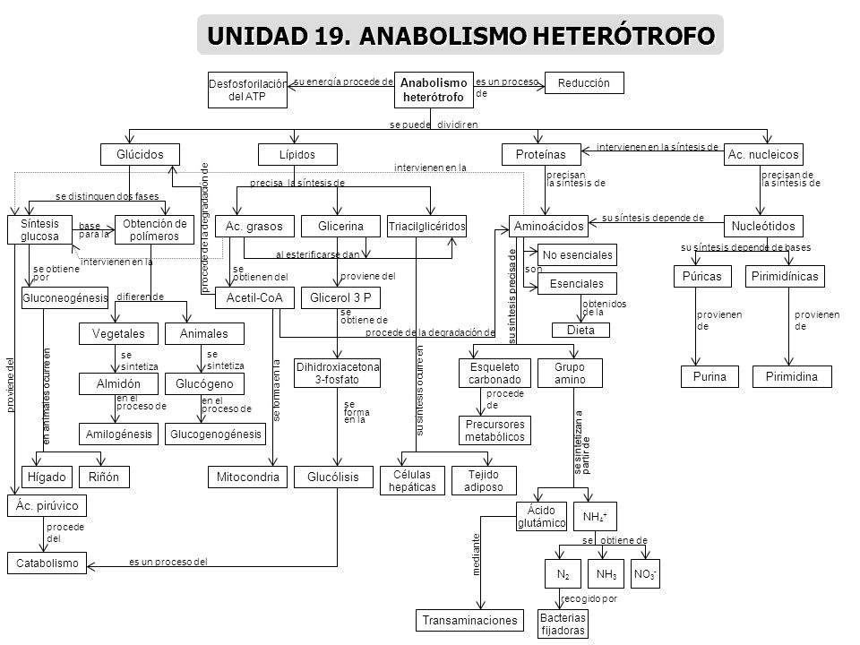 Anabolismo heterótrofo Glúcidos Lípidos ProteínasAc. nucleicos Síntesis glucosa Obtención de polímeros Gluconeogénesis VegetalesAnimales AlmidónGlucóg