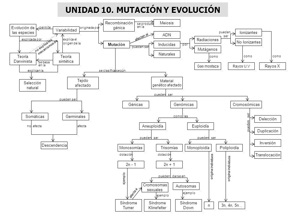 UNIDAD 10. MUTACIÓN Y EVOLUCIÓN Evolución de las especies Variabilidad Recombinación génica Mutación Meiosis Teoría sintética Teoría Darwinista Selecc