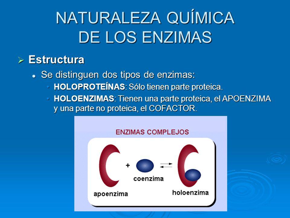 Estructura Se distinguen dos tipos de enzimas: HOLOPROTEÍNAS: Sólo tienen parte proteica. HOLOENZIMAS: Tienen una parte proteica, el APOENZIMA y una p