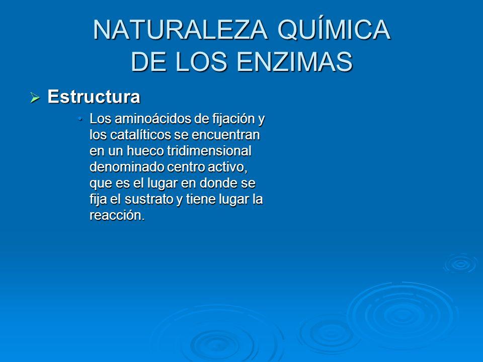 NATURALEZA QUÍMICA DE LOS ENZIMAS Estructura Los aminoácidos de fijación y los catalíticos se encuentran en un hueco tridimensional denominado centro