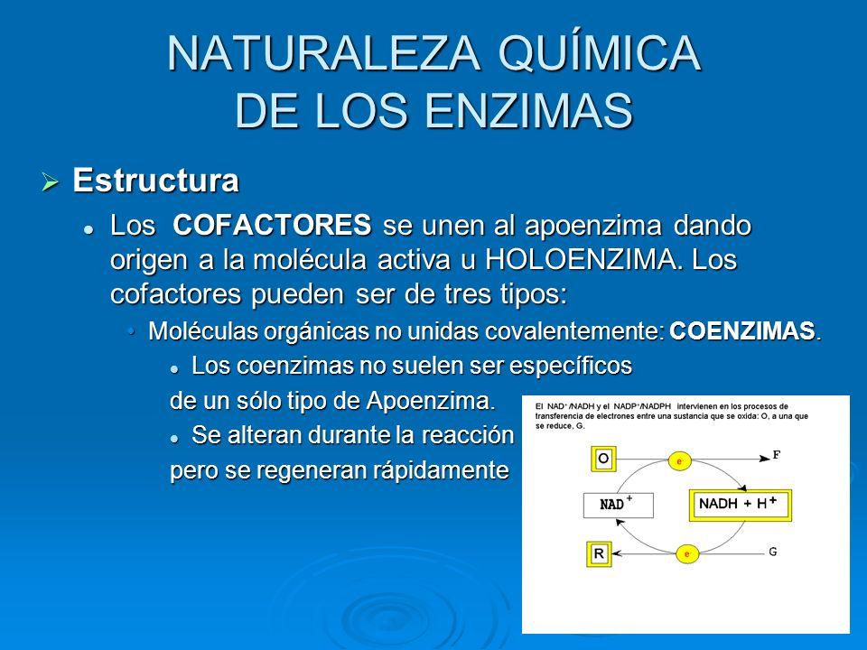 Estructura Los COFACTORES se unen al apoenzima dando origen a la molécula activa u HOLOENZIMA. Los cofactores pueden ser de tres tipos: Moléculas orgá