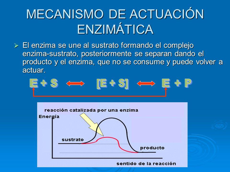MECANISMO DE ACTUACIÓN ENZIMÁTICA El enzima se une al sustrato formando el complejo enzima-sustrato, posteriormente se separan dando el producto y el