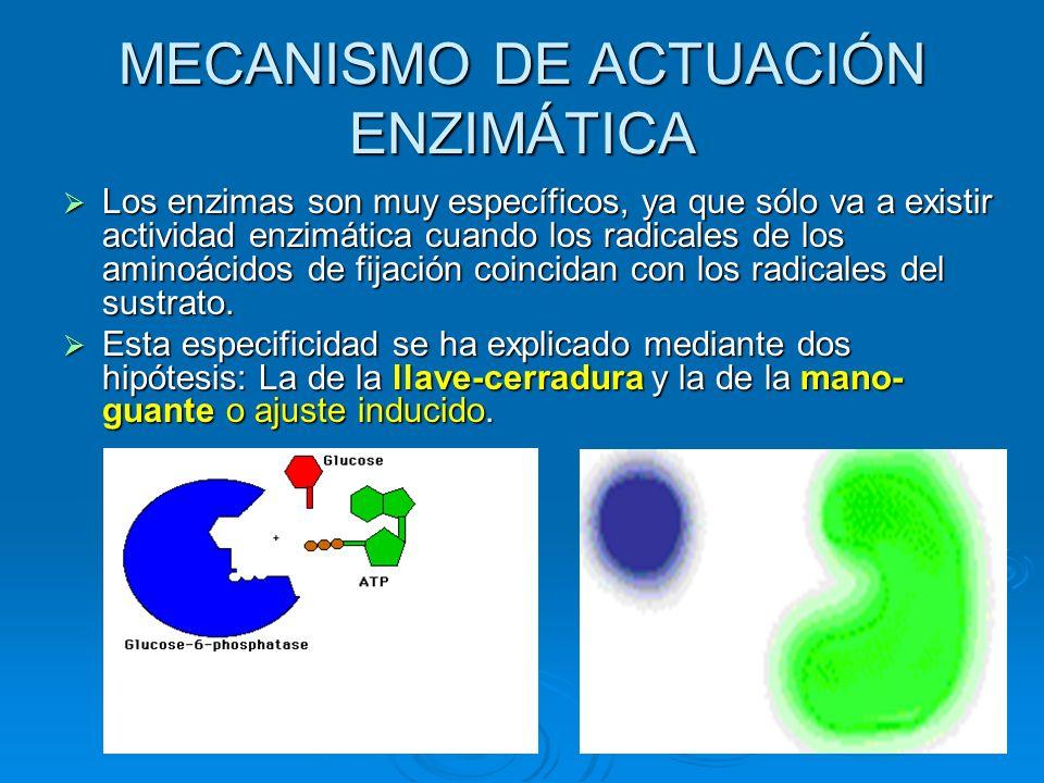 Los enzimas son muy específicos, ya que sólo va a existir actividad enzimática cuando los radicales de los aminoácidos de fijación coincidan con los r