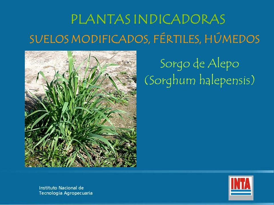 Sorgo de Alepo (Sorghum halepensis) SUELOS MODIFICADOS, FÉRTILES, HÚMEDOS PLANTAS INDICADORAS