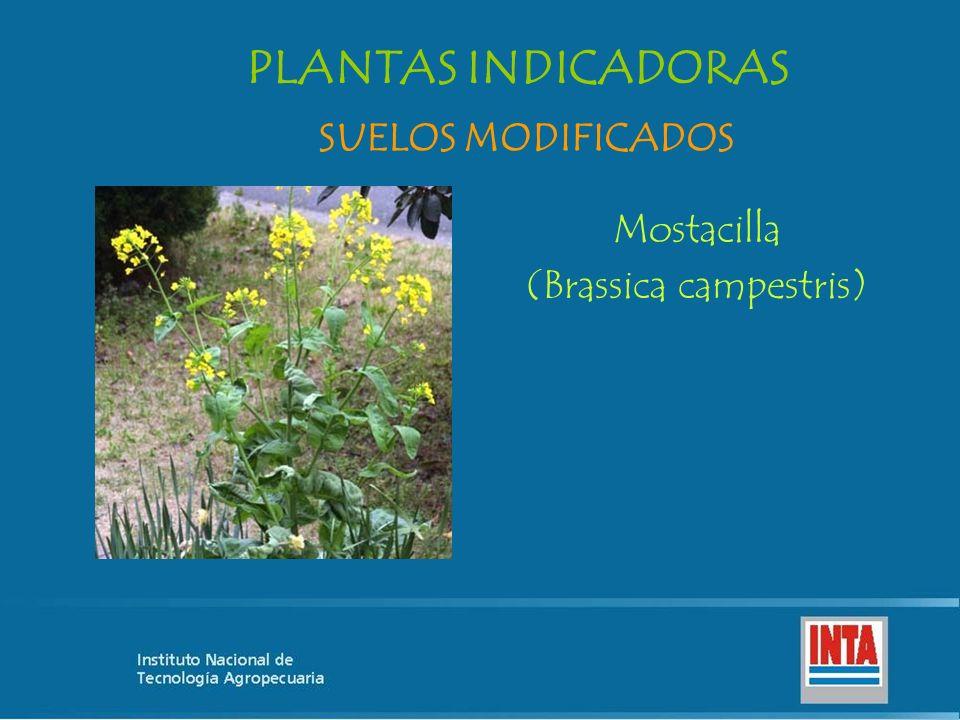 Mostacilla (Brassica campestris) SUELOS MODIFICADOS PLANTAS INDICADORAS