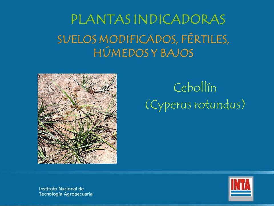 Cebollín (Cyperus rotundus) SUELOS MODIFICADOS, FÉRTILES, HÚMEDOS Y BAJOS PLANTAS INDICADORAS