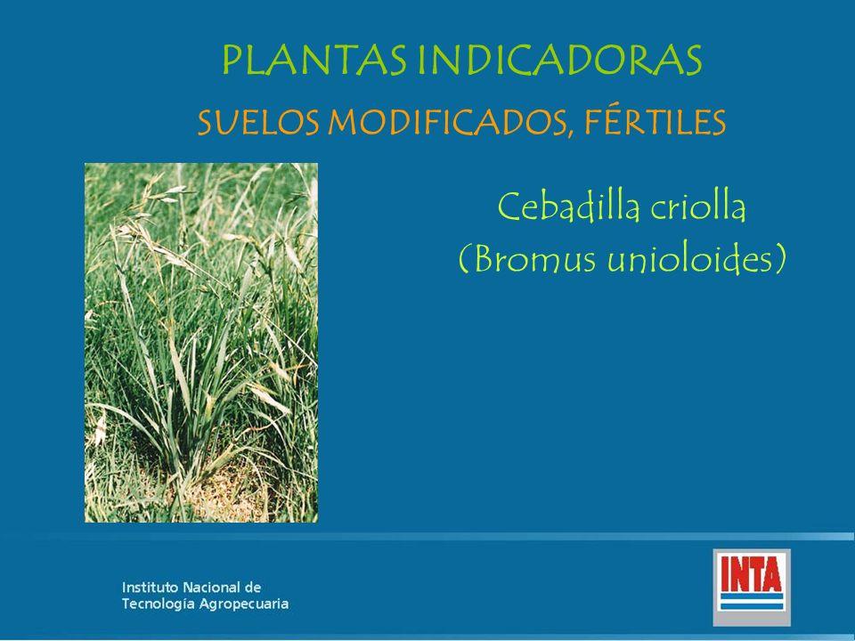 Cebadilla criolla (Bromus unioloides) SUELOS MODIFICADOS, FÉRTILES PLANTAS INDICADORAS