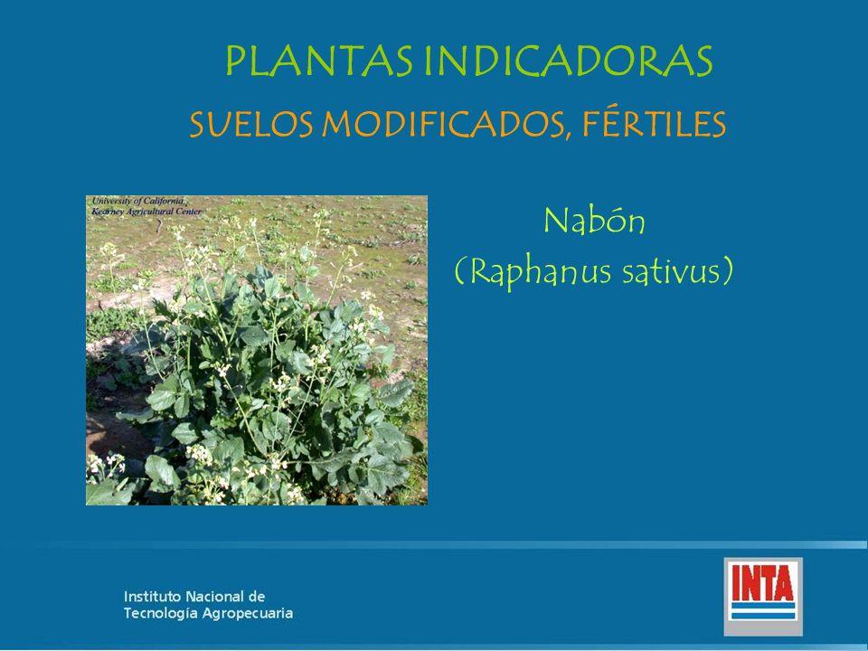 Nabón (Raphanus sativus) SUELOS MODIFICADOS, FÉRTILES PLANTAS INDICADORAS