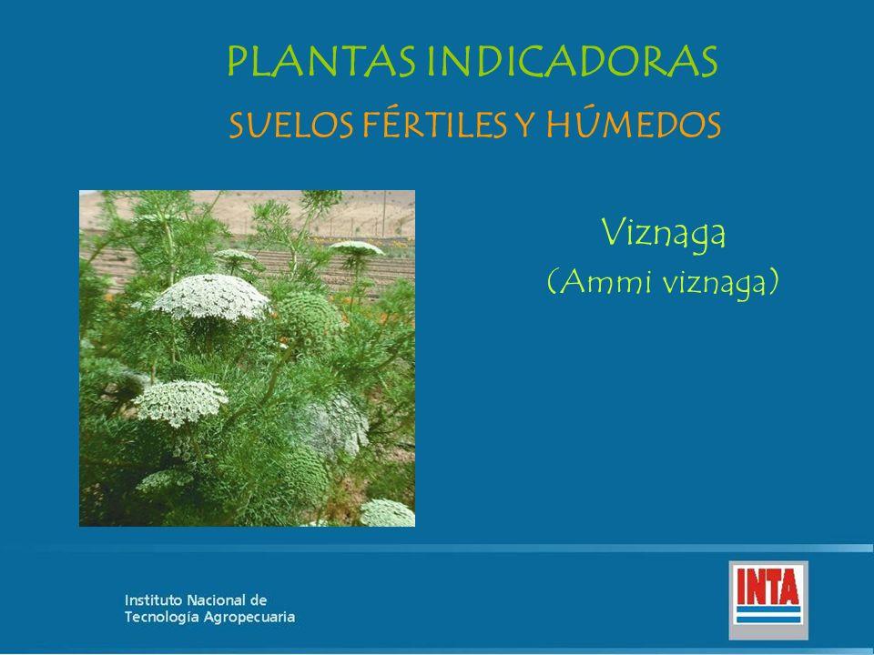 Viznaga (Ammi viznaga) SUELOS FÉRTILES Y HÚMEDOS PLANTAS INDICADORAS