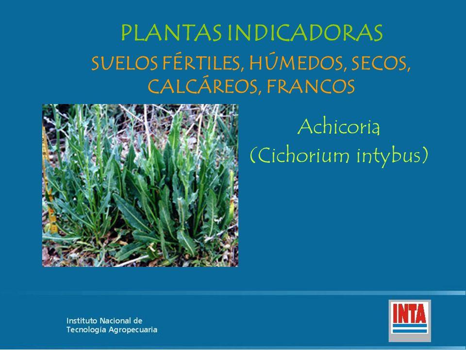 Achicoria (Cichorium intybus) SUELOS FÉRTILES, HÚMEDOS, SECOS, CALCÁREOS, FRANCOS PLANTAS INDICADORAS