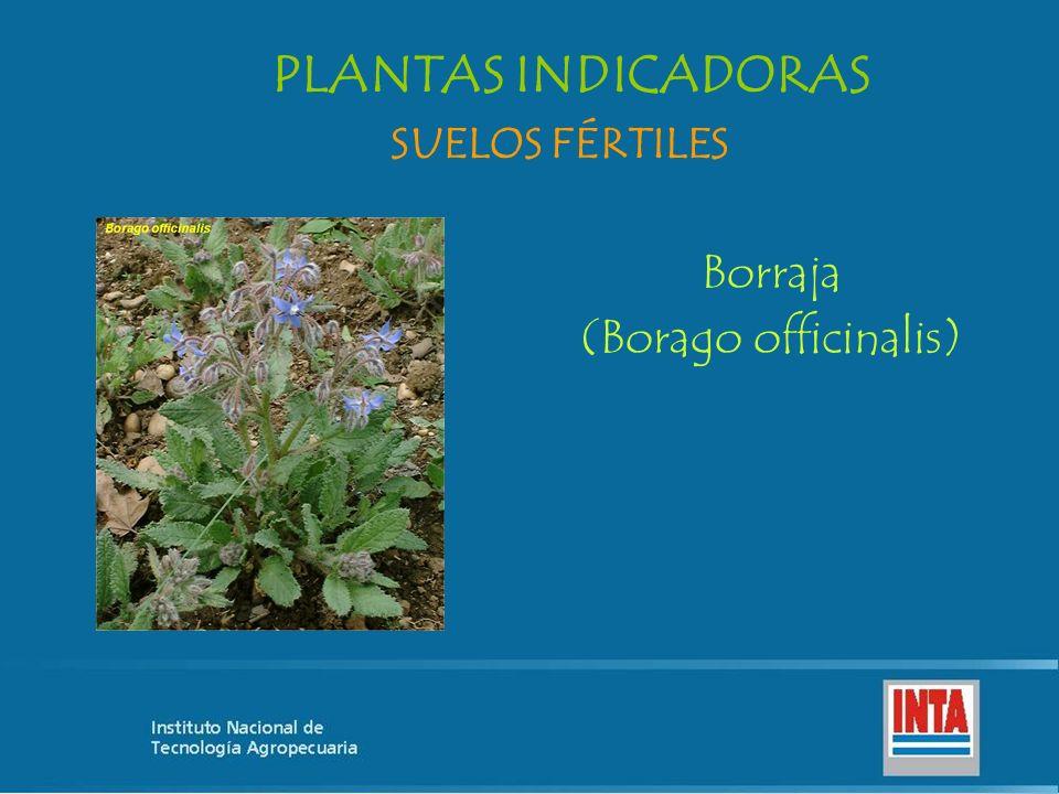 Borraja (Borago officinalis) SUELOS FÉRTILES PLANTAS INDICADORAS