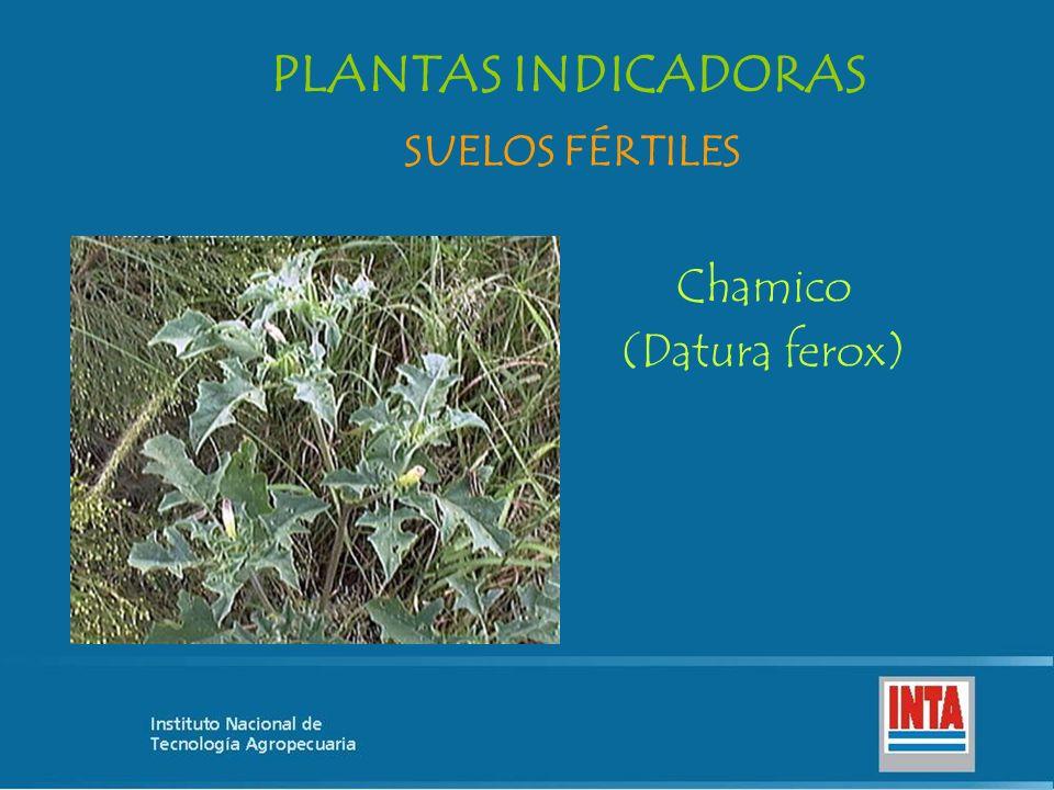 Chamico (Datura ferox) SUELOS FÉRTILES PLANTAS INDICADORAS