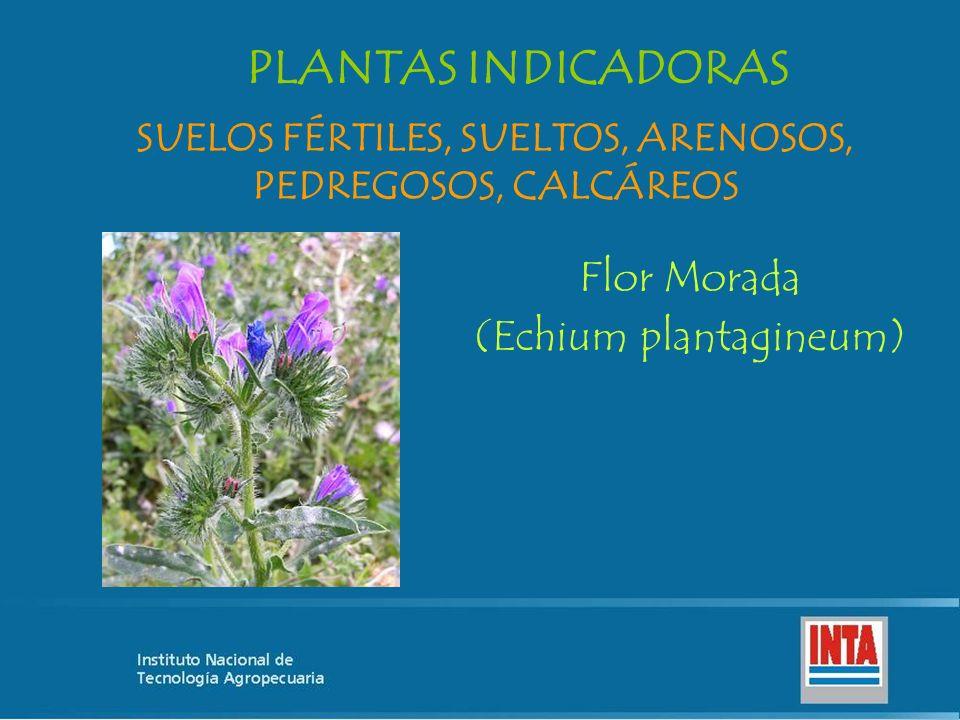 Flor Morada (Echium plantagineum) SUELOS FÉRTILES, SUELTOS, ARENOSOS, PEDREGOSOS, CALCÁREOS PLANTAS INDICADORAS