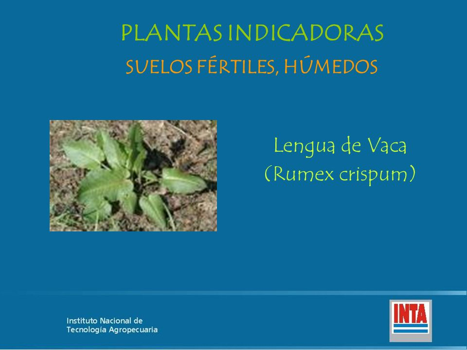 Lengua de Vaca (Rumex crispum) SUELOS FÉRTILES, HÚMEDOS PLANTAS INDICADORAS