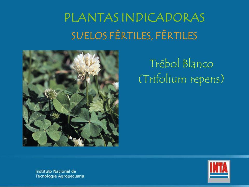 Trébol Blanco (Trifolium repens) SUELOS FÉRTILES, FÉRTILES PLANTAS INDICADORAS