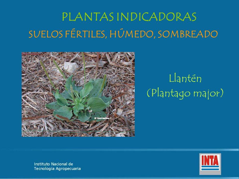 Llantén (Plantago major) SUELOS FÉRTILES, HÚMEDO, SOMBREADO PLANTAS INDICADORAS
