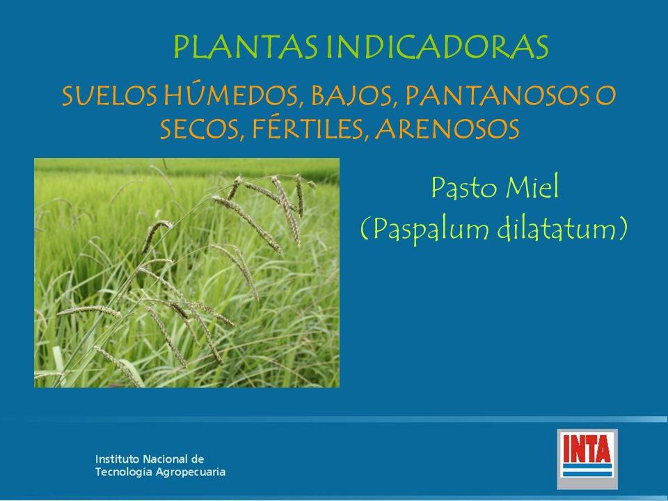 PLANTAS INDICADORAS Pasto Miel (Paspalum dilatatum) SUELOS HÚMEDOS, BAJOS, PANTANOSOS O SECOS, FÉRTILES, ARENOSOS