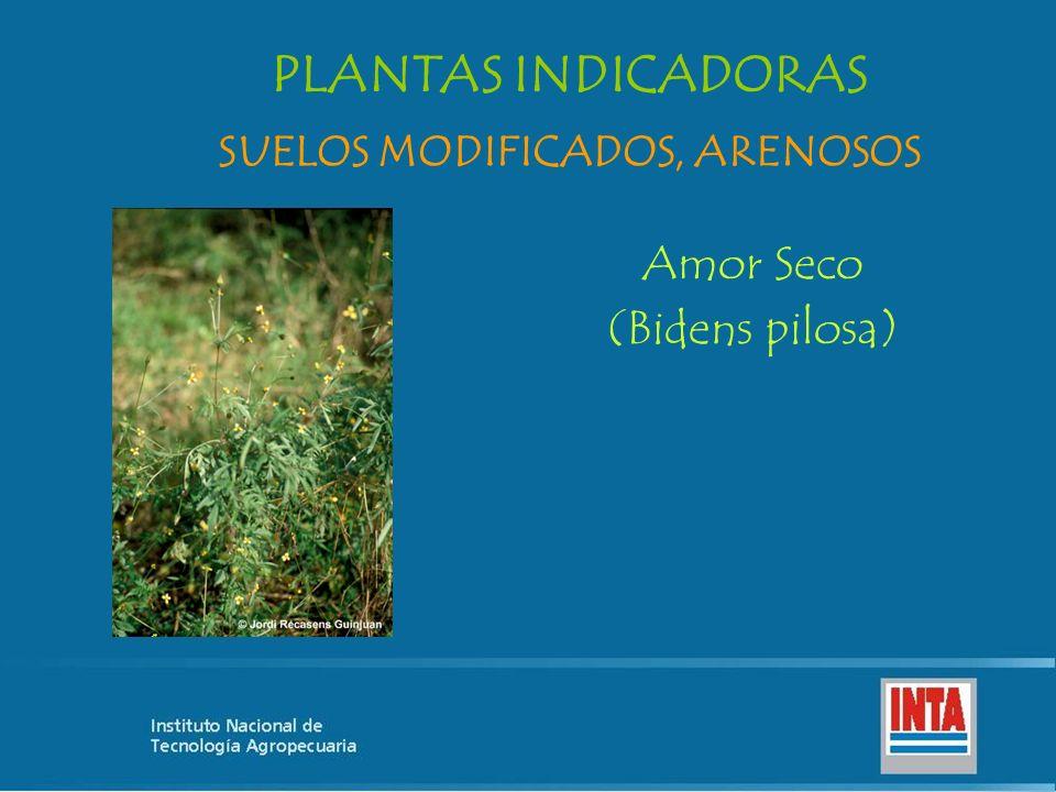Amor Seco (Bidens pilosa) SUELOS MODIFICADOS, ARENOSOS PLANTAS INDICADORAS