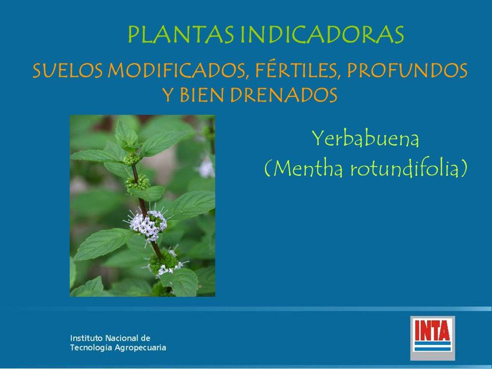 Yerbabuena (Mentha rotundifolia) SUELOS MODIFICADOS, FÉRTILES, PROFUNDOS Y BIEN DRENADOS PLANTAS INDICADORAS