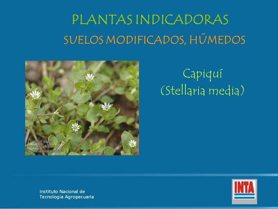 Capiquí (Stellaria media) SUELOS MODIFICADOS, HÚMEDOS PLANTAS INDICADORAS