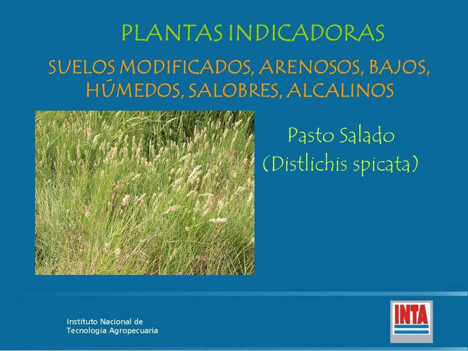 Pasto Salado (Distlichis spicata) SUELOS MODIFICADOS, ARENOSOS, BAJOS, HÚMEDOS, SALOBRES, ALCALINOS PLANTAS INDICADORAS