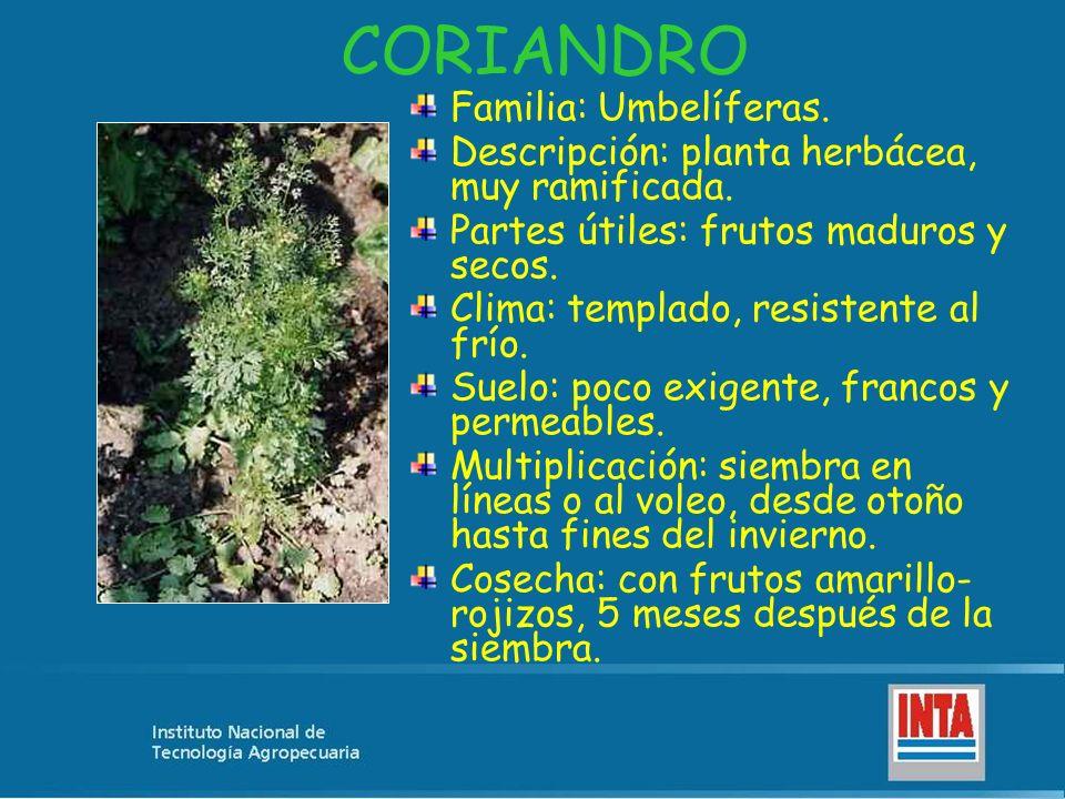 CORIANDRO Familia: Umbelíferas. Descripción: planta herbácea, muy ramificada. Partes útiles: frutos maduros y secos. Clima: templado, resistente al fr