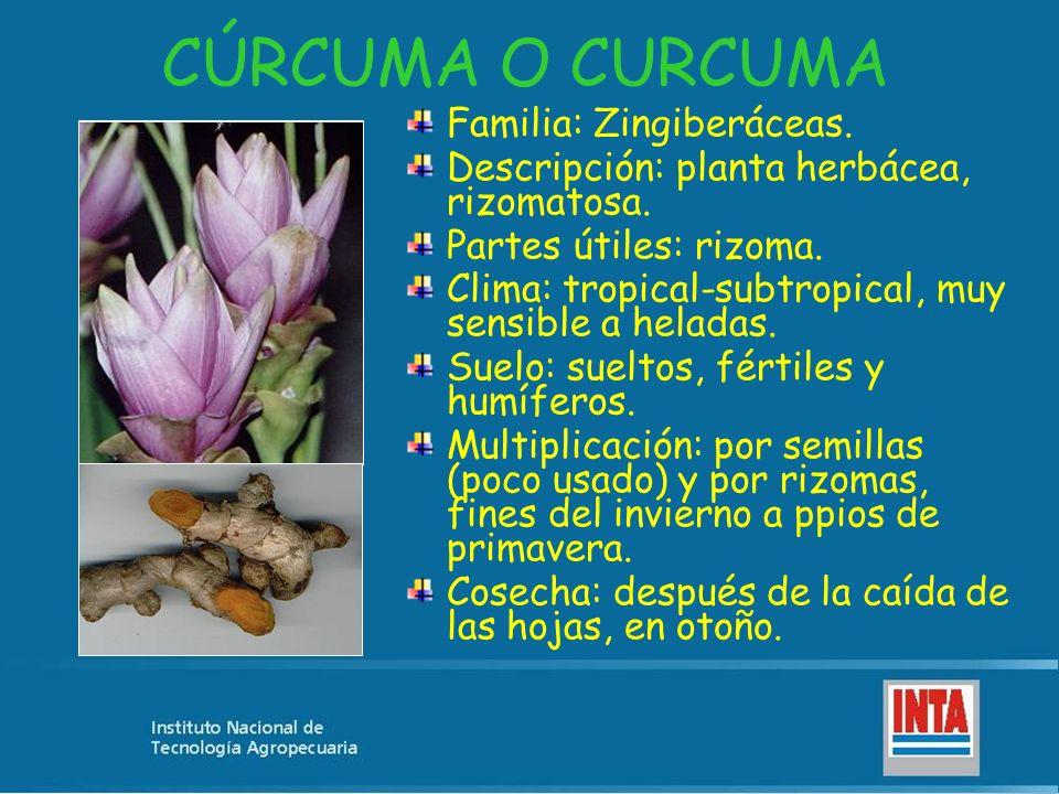 CÚRCUMA O CURCUMA Familia: Zingiberáceas. Descripción: planta herbácea, rizomatosa. Partes útiles: rizoma. Clima: tropical-subtropical, muy sensible a