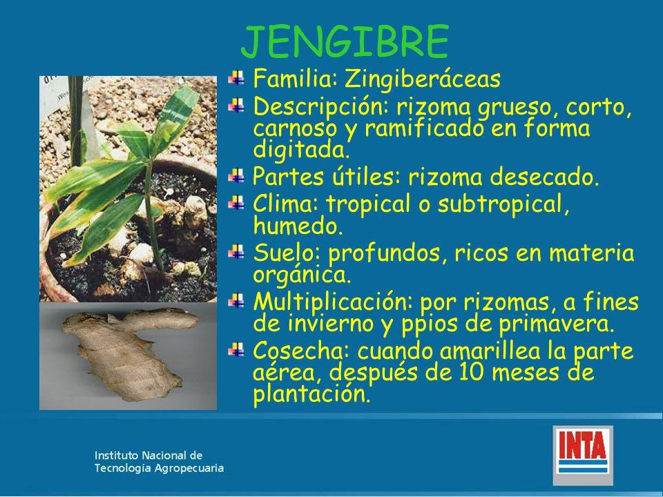 JENGIBRE Familia: Zingiberáceas Descripción: rizoma grueso, corto, carnoso y ramificado en forma digitada. Partes útiles: rizoma desecado. Clima: trop