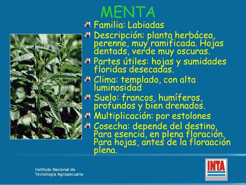 MENTA Familia: Labiadas Descripción: planta herbácea, perenne, muy ramificada. Hojas dentads, verde muy oscuras. Partes útiles: hojas y sumidades flor