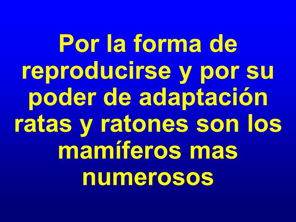Por la forma de reproducirse y por su poder de adaptación ratas y ratones son los mamíferos mas numerosos