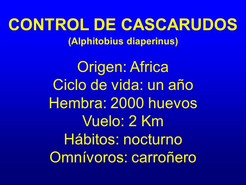 CONTROL DE CASCARUDOS (Alphitobius diaperinus) Origen: Africa Ciclo de vida: un año Hembra: 2000 huevos Vuelo: 2 Km Hábitos: nocturno Omnívoros: carro