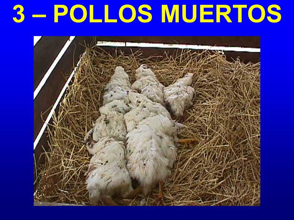 3 – POLLOS MUERTOS
