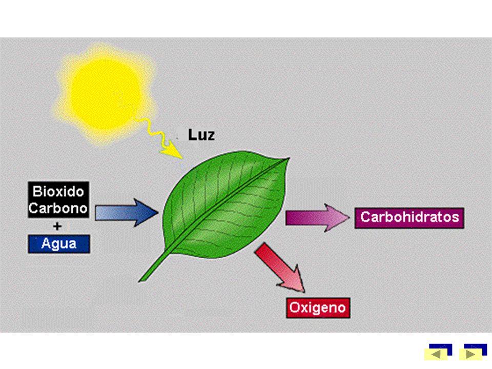 Cada hoja toma dióxido de carbono (CO2) del aire a través de los estomas, que son pequeñas aberturas o poros para el intercambio de gases con el exter