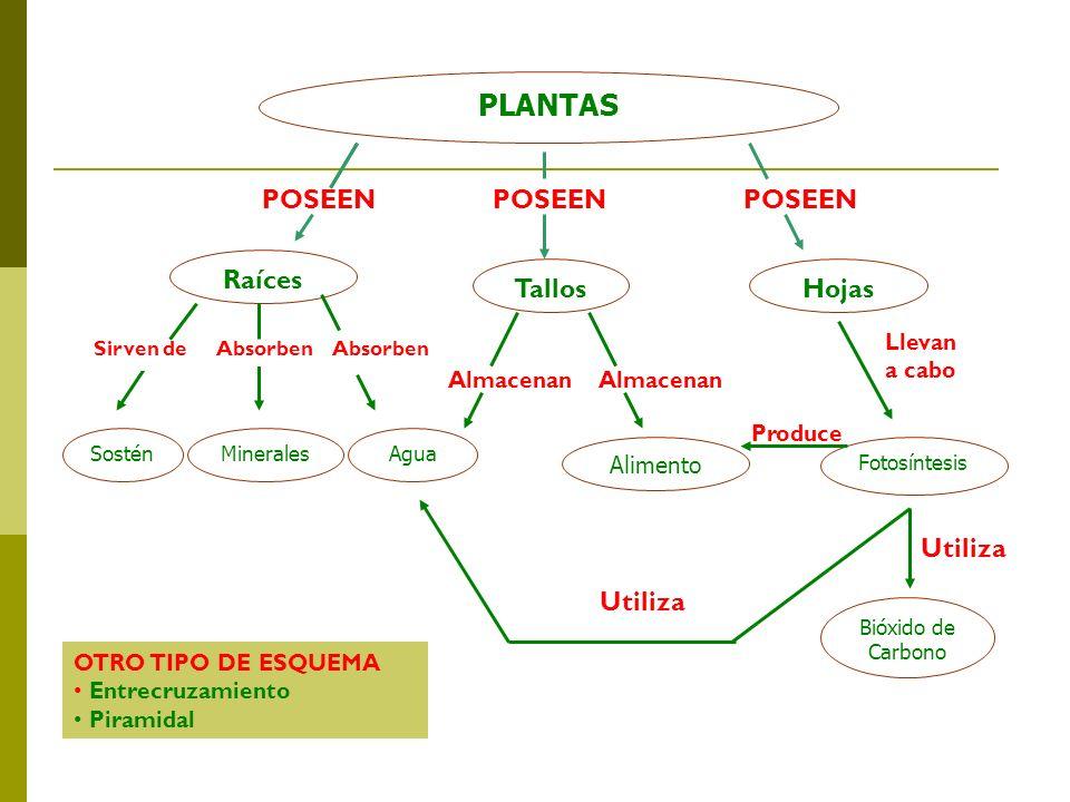 PLANTAS Raíces TallosHojas Sirven deAbsorben SosténAguaMinerales Llevan a cabo Almacenan POSEENPOSEEN POSEEN Alimento Fotosíntesis Produce Utiliza Bió