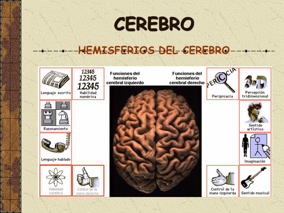 CEREBRO HEMISFERIOS DEL CEREBRO