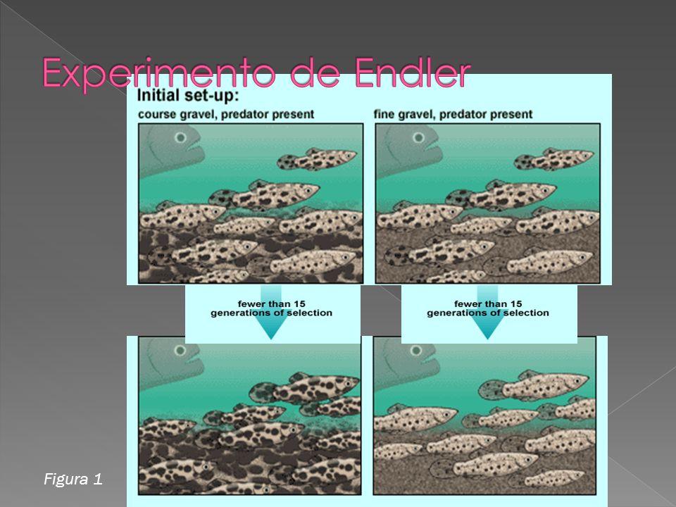 Fig.1. Primer experimento Endler separa a los peces en dos estanques con depredadores.