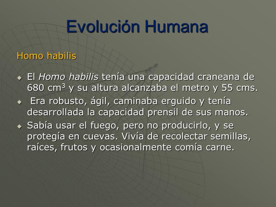 Homo habilis El Homo habilis tenía una capacidad craneana de 680 cm 3 y su altura alcanzaba el metro y 55 cms. El Homo habilis tenía una capacidad cra