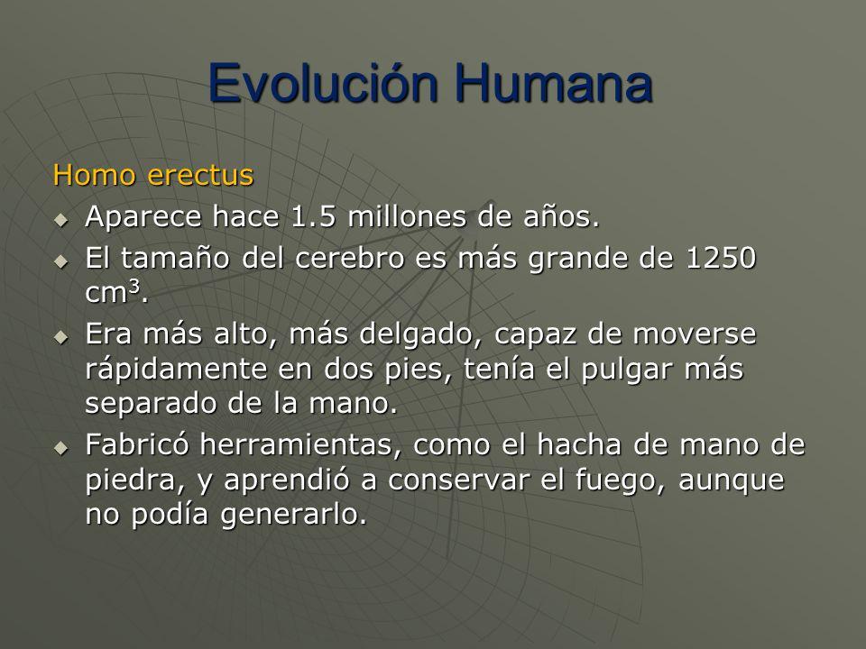 Homo erectus Aparece hace 1.5 millones de años. Aparece hace 1.5 millones de años. El tamaño del cerebro es más grande de 1250 cm 3. El tamaño del cer