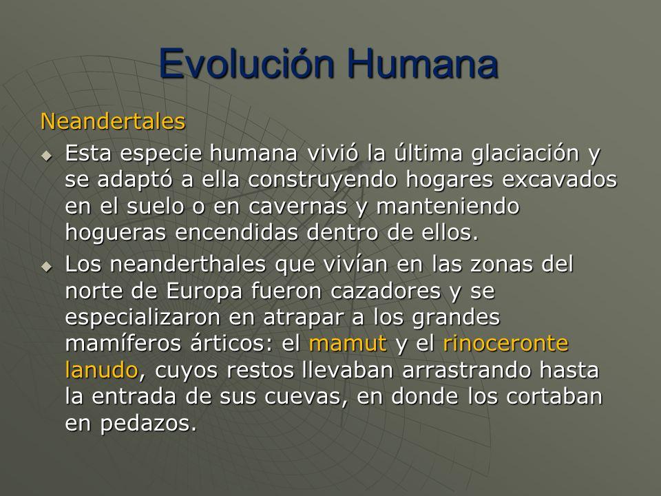 Neandertales Esta especie humana vivió la última glaciación y se adaptó a ella construyendo hogares excavados en el suelo o en cavernas y manteniendo